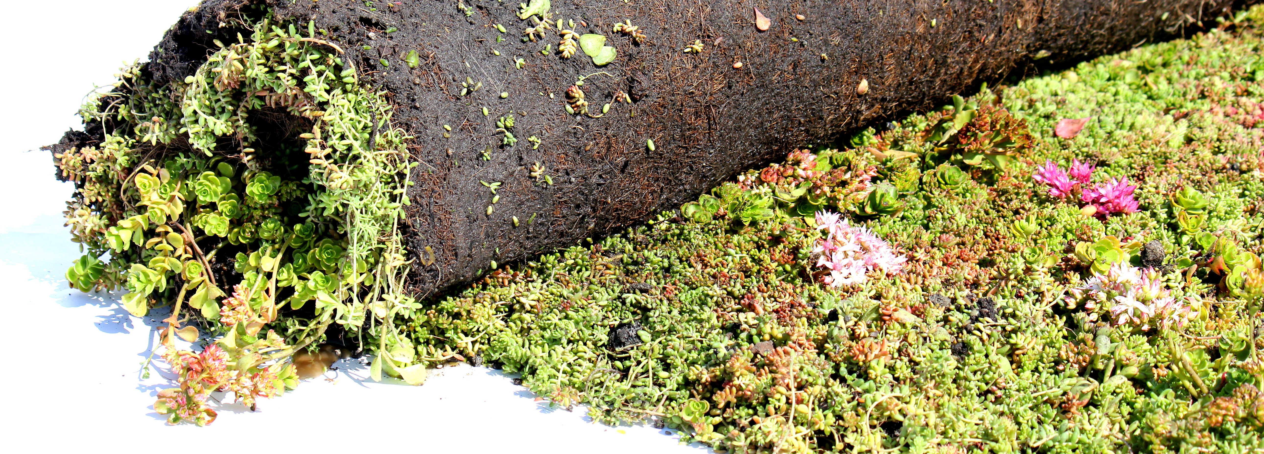 Sedum vegetationsmåtter