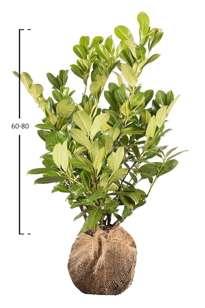 Laurbærkirsebær Rotundifolia