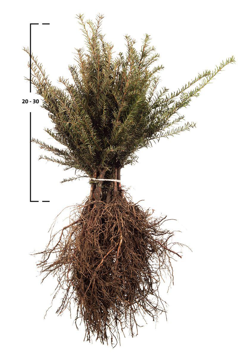 Taxus baccata busk